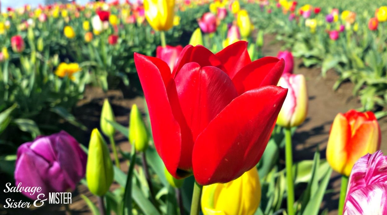 A field of colorful tulips in the spring. The annual tulip festival in Oregon.
