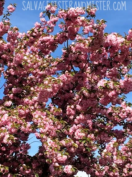 Spring time in the Rogue Valley means cherry blossoms and pear tree. It's a beautiful time of year for a Sunday drive. No destination and no rush. Taking time to enjoy life.