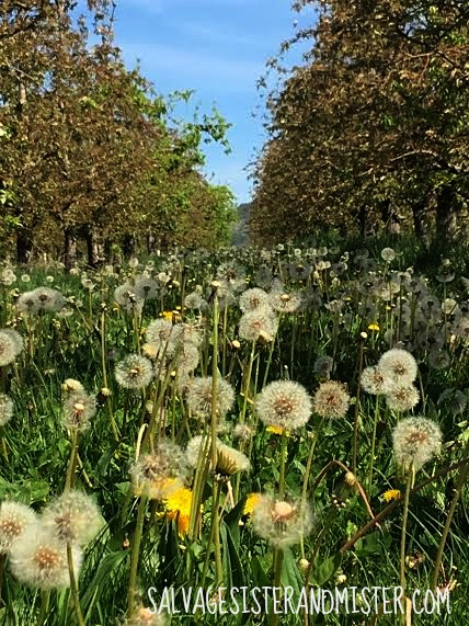 Dandelions in a pear orchard in Southern Oregon. Perfect spring day for a Sunday drive. No destination and no rush. Simple living.