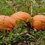 Lessons from the Pumpkin Patch
