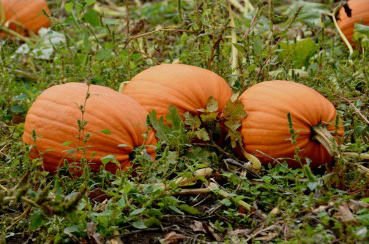 Lessons from the pumpkin patch. What is the perfect pumpkin?