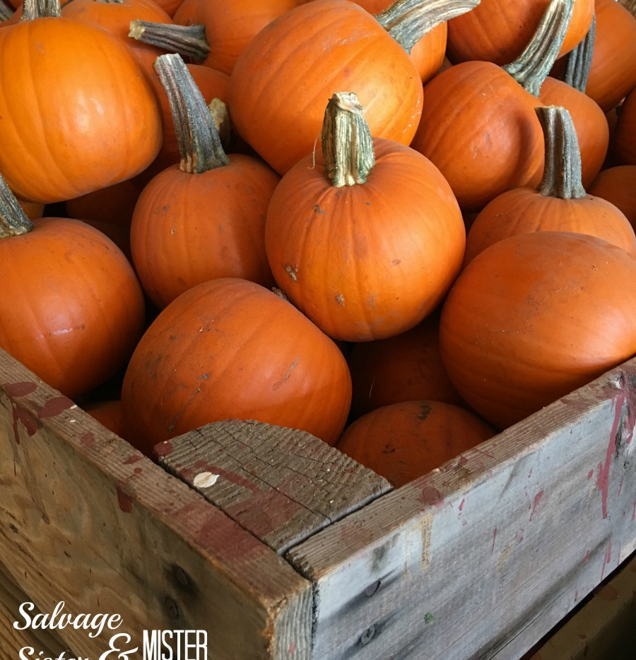 sugar pie pumpkins - dual purpose. Get a pumpkin for decor and for eating