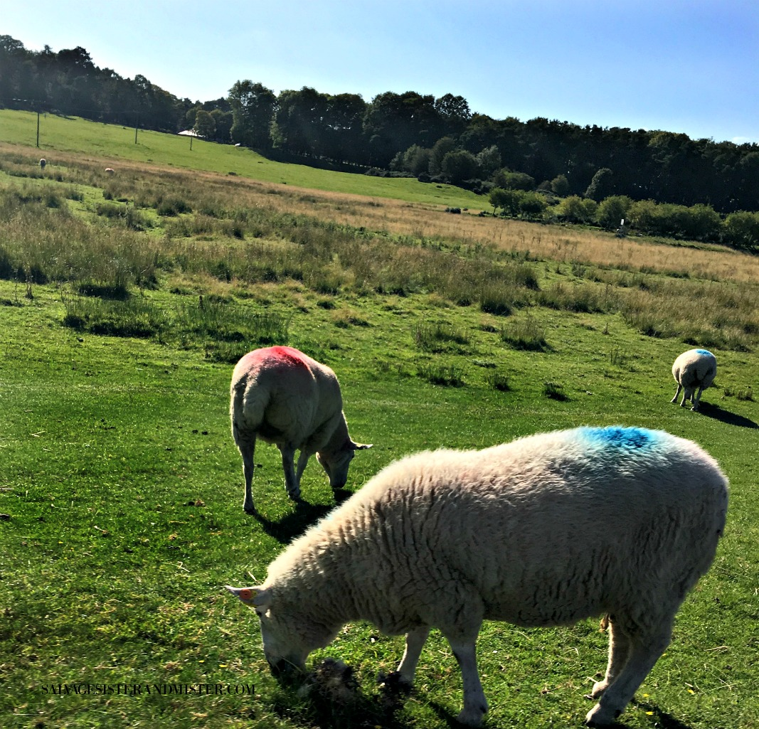 Ireland sheep on salvagesisterandmister.com